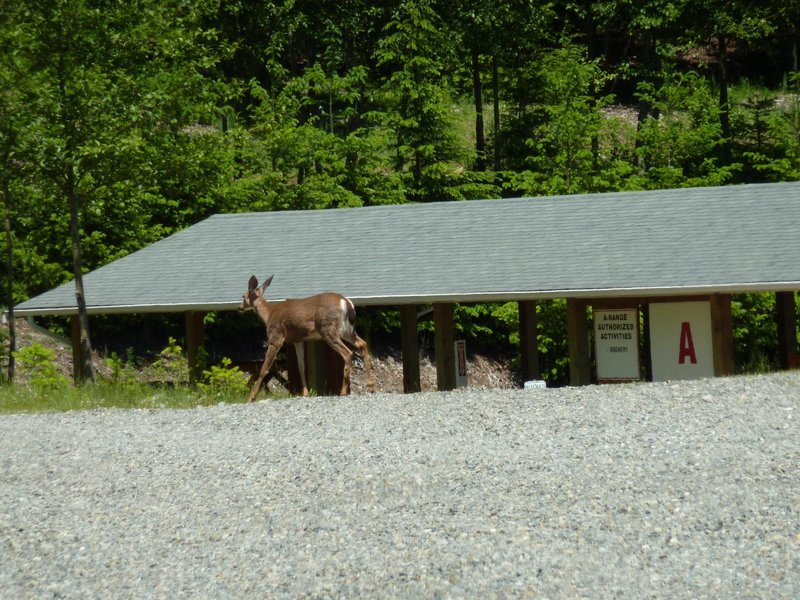 Deer at Cascade range (only to be shot with camera) || DMC-ZS3@45.7 | 1/500s | f4.8 | ISO80 || 2010-06-12 15:25:49
